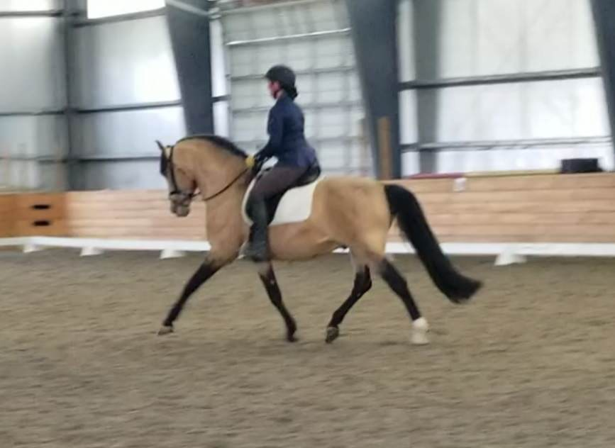 working equitation maryland md DC stallion dressage